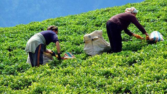 Yaş çay bedeli ödemeleri başlıyor