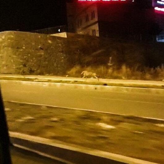 Ardahanda şehre inen kurt, vatandaşlar tarafından kaydedildi