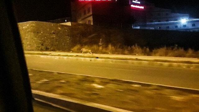 Ardahan'da şehre inen kurt, vatandaşlar tarafından kaydedildi