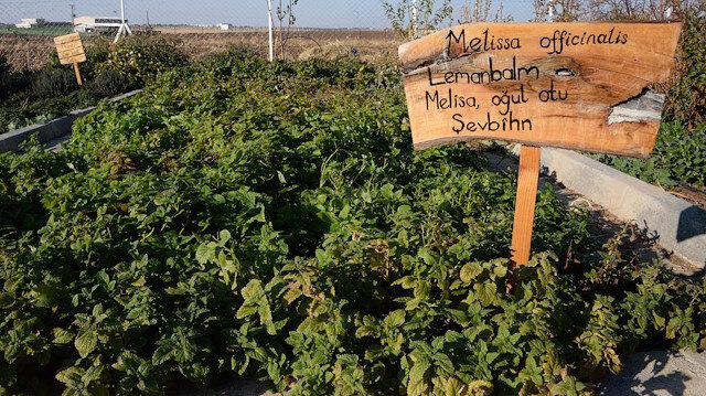 Uzman doktor, yetiştirdiği aromatik bitkilerle hastaları tedavi ediyor