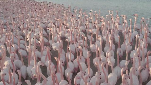 Flamingoların toplu göçü Kazakistan gölünü görsel şölene çevirdi