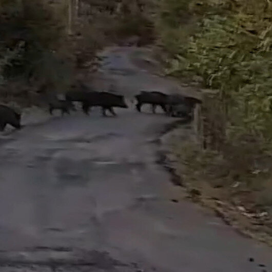 Zonguldakta aç kalan domuz sürüleri köylere inmeye başladı