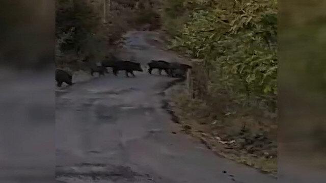 Zonguldak'ta aç kalan domuz sürüleri köylere inmeye başladı