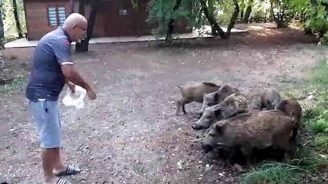 Muğla'da yiyecek bulmak için sahile inen domuz sürüsünü elleri ile besledi