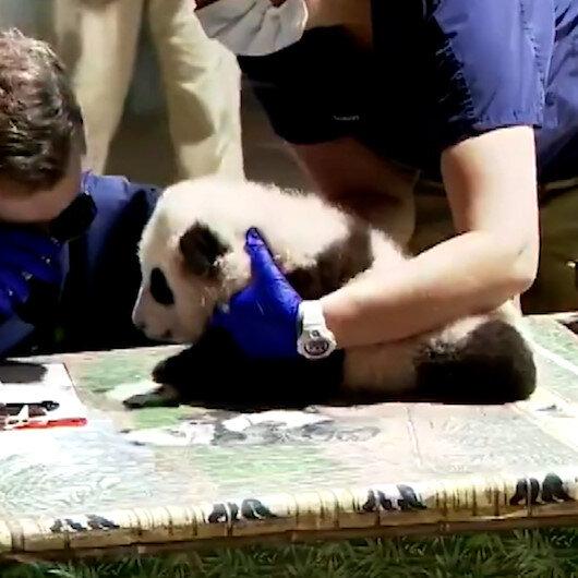 ABDde sağlık kontrolü olan küçük pandanın görüntüleri paylaşım rekoru kırdı