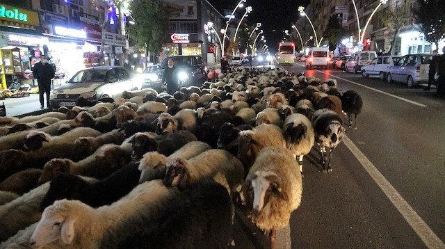 Tokat'ta şehir merkezinden geçen yüzlerce koyun ilginç görüntüler oluştu
