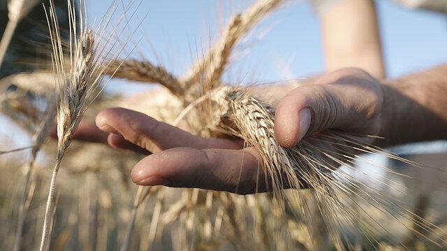 Pandemi sonrası için kıtlık uyarısı: Buğday ihracatına limit ve yasaklar geliyor