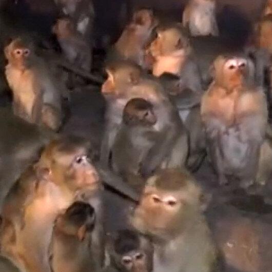 Taylandda maymunların havai fişek paniği kameraya yansıdı
