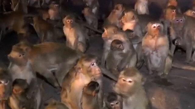 Tayland'da maymunların havai fişek paniği kameraya yansıdı