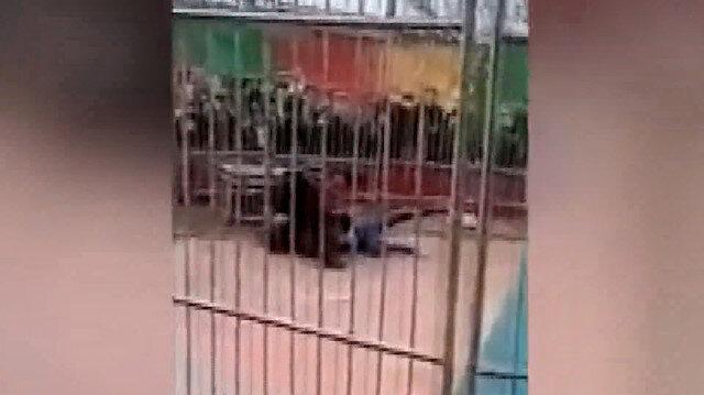 Çin'de sirk kaplanı eğitmenine saldırdı: O anlar kameralara böyle yansıdı