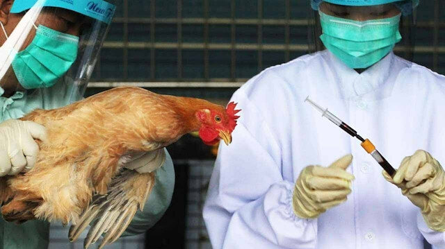 Japonya'da kuş gribi salgını komşu eyalete sıçradı: Bir milyondan fazla kümes hayvanı itlaf edilecek