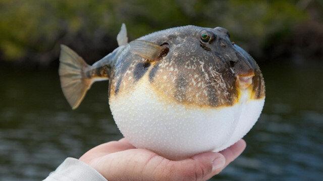 Balon balığı 180 bin lira kazandırdı: 24 günde 36 bin tane yakaladılar