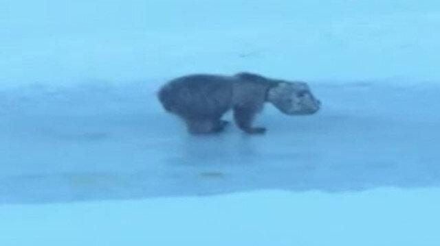 Hakkari'de kafası tenekeye sıkışan ayı kurtarıldı