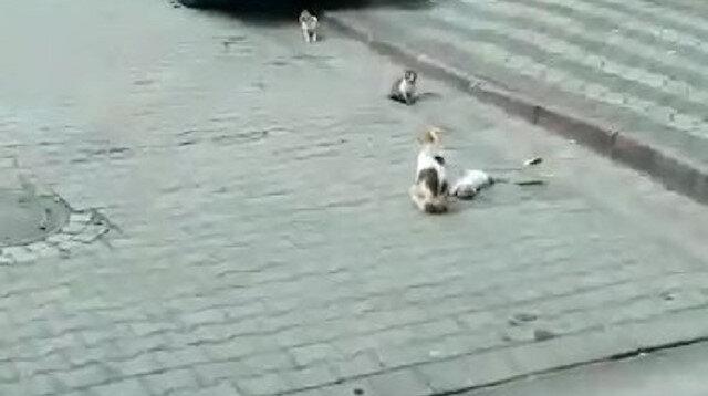 Sultangazi'de anne kedi ölen yavrusunun başından ayrılmadı