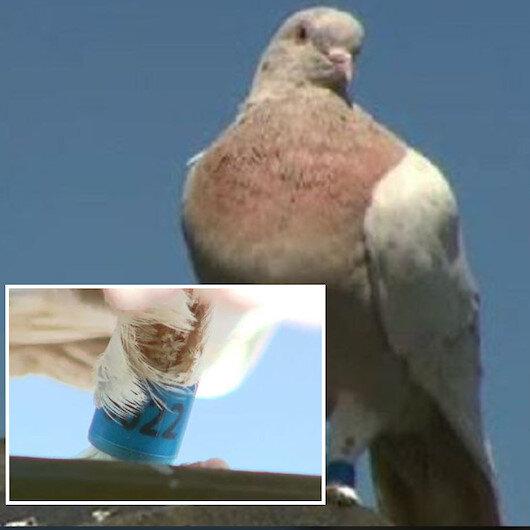 13 bin km yoldan gelen güvercin telef edilecek: Virüs getirebilir
