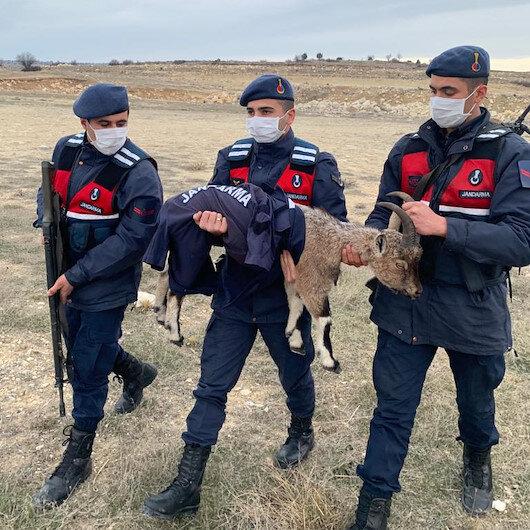 Jandarma ekipleri yavru yaban keçisini montuyla soğuktan korudu