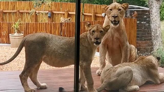 Güney Afrika'da evini aslanlar basan çift zor anlar yaşadı