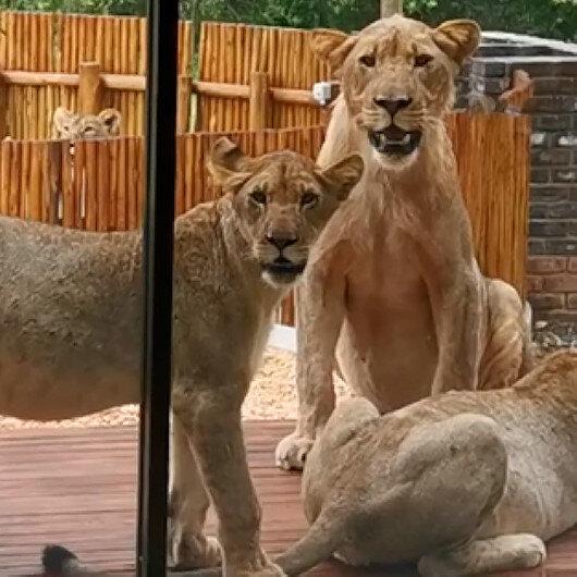 Güney Afrikada evini aslanlar basan çift zor anlar yaşadı