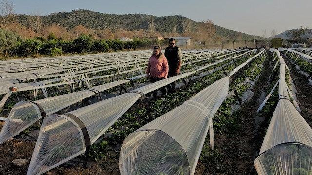 Şehir hayatından kaçıp çilek bahçesi kurdular: Ayda 800 kilo hasat yapıyorlar