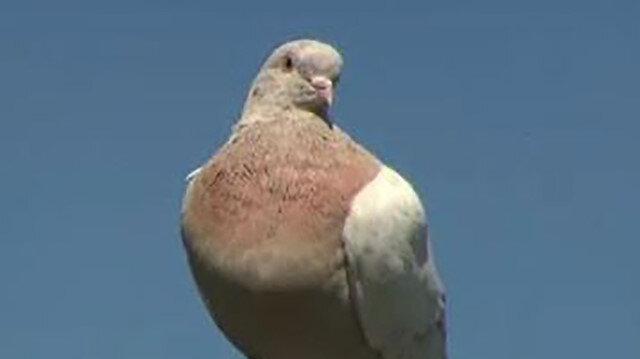 Avustralya'ya 13 bin km yol kat ederek gelen güvercin koronavirüs nedeniyle itlaf edilecek