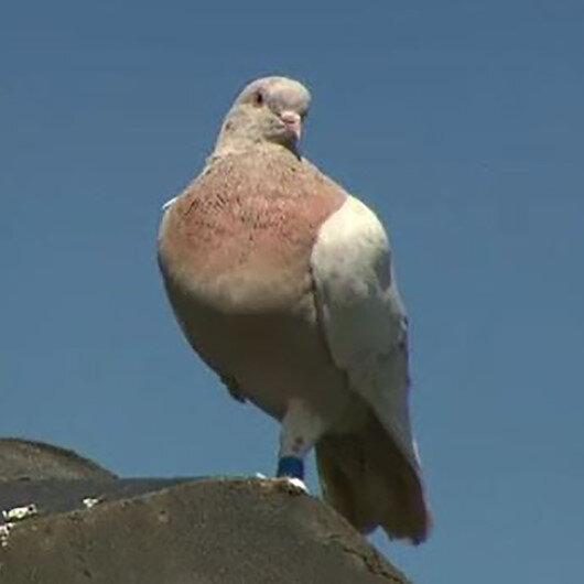 Avustralyaya 13 bin km yol kat ederek gelen güvercin koronavirüs nedeniyle itlaf edilecek