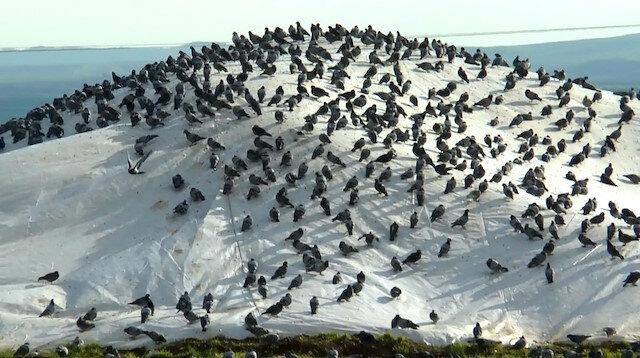 Aç kalan güvercinler buğday pazarını mesken tuttu