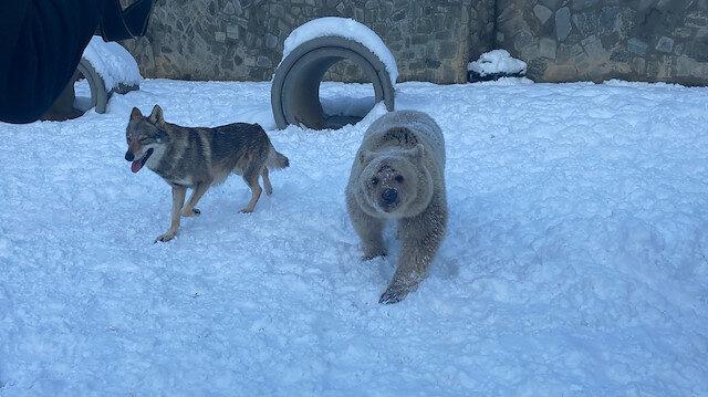 Çocuklar gibi oynadılar: Bozayı ve kurdun kar eğlencesi