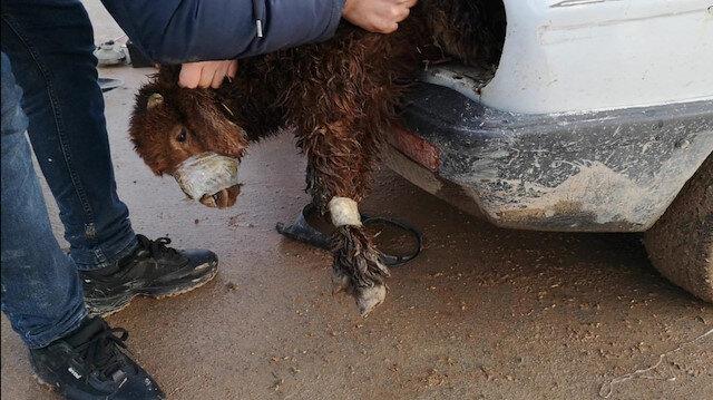 Akçakale Gümrük Kapısı'nda otomobilin far bölümüne gizlenmiş 2 kuzu bulundu