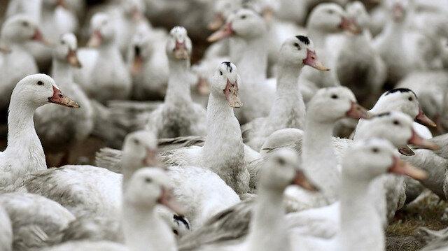 Fransa'da kuş gribi alarmı: 2 milyon ördek itlaf edildi