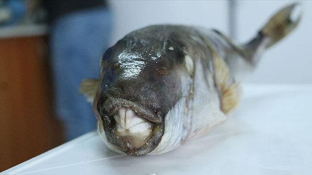 Balon balığı yiyen kaptan öldü: 4 denizci hastanelik oldu