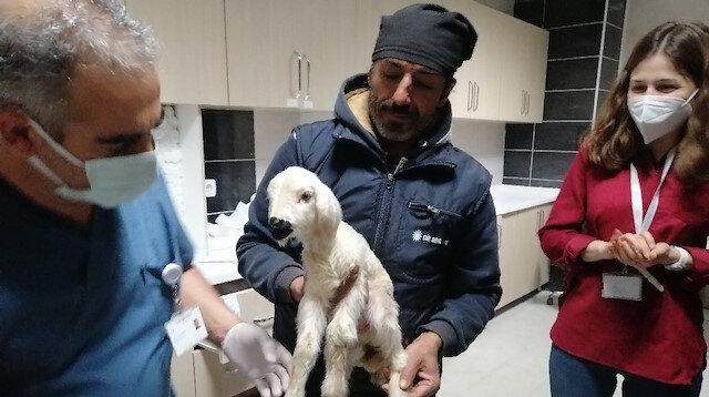 Aksaray'da hastane acil servisinde kuzu seferberliği