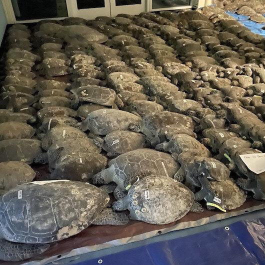 ABDde donmak üzere olan binlerce kaplumbağa koruma altına alındı