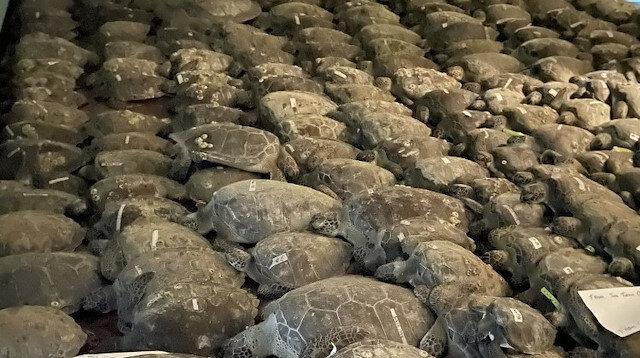 ABD'de donmak üzere olan binlerce kaplumbağa koruma altına alındı
