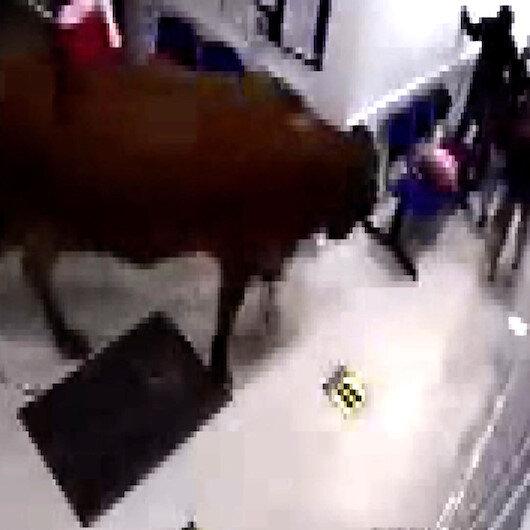 Kolombiyada yolunu kaybeden inek hastaneye daldı