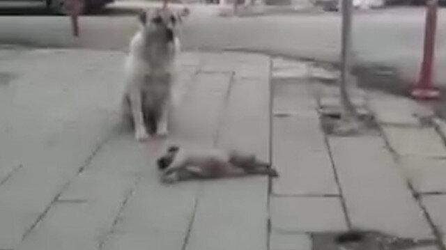 Kars'ta yürek burkan görüntü: Anne köpek otomobilin ezdiği yavrusunun başından ayrılmadı