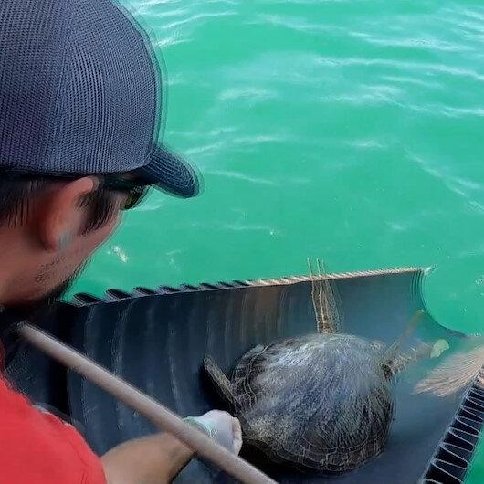 ABDde donmaktan kurtarılan binlerce deniz kaplumbağası yeniden suyla buluştu