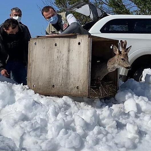 Sinop'ta yaralı karaca tedavisinin ardından doğaya salındı