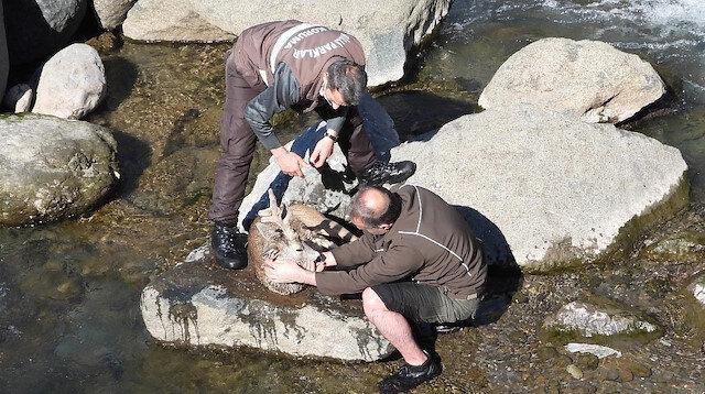 Köpeklerin saldırısında dereye düşen karaca dakikalarca yapılan kalp masajına rağmen hayata tutunamadı