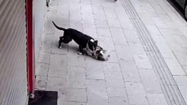 Hatay'da 'pitbull' dehşeti kamerada