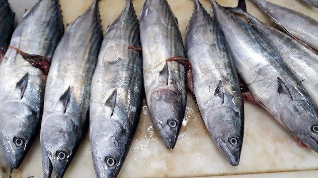 Karadenizli balıkçılara palamut sürprizi: Mart ayında ağlara takıldı