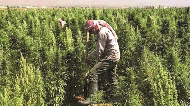 PKK'nın 2 bin hektar uyuşturucu tarlası var