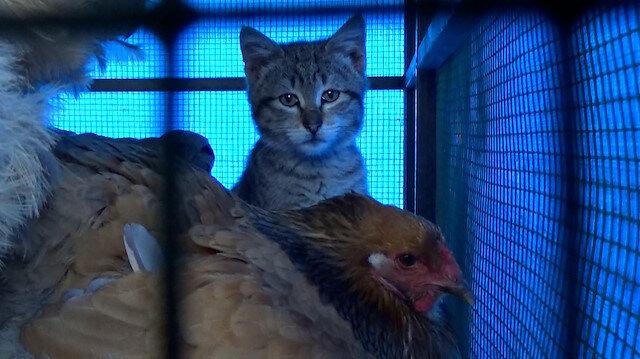 Trabzon'da yavru kedi ve tavukların gülümseten dostluğu