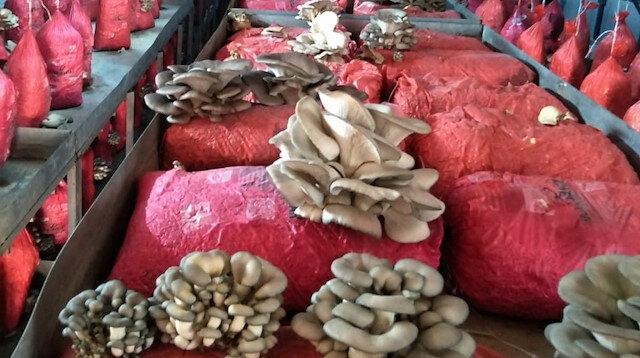 Devlet tarafından verilen destekle istiridye mantarı köylünün geçim kapısı oldu: Ayda 2,5 ton üretim yapılıyor