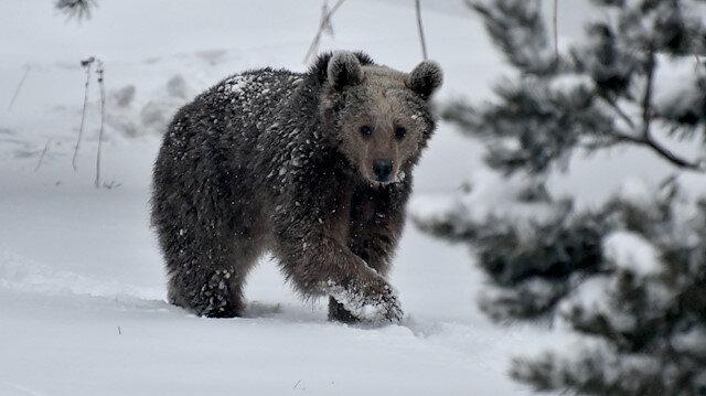 Kars'ta kış uykusundan uyanan ayılar yiyecek turuna çıktı