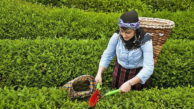 Rize'de çay üreticilerini sevindirecek haber: Sokağa çıkma kısıtlamasından muaf tutulacaklar