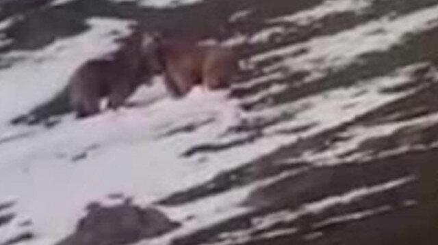 Bayburt'ta kış uykusundan uyanan ayılar kamerada: Ayı kardeş, hop
