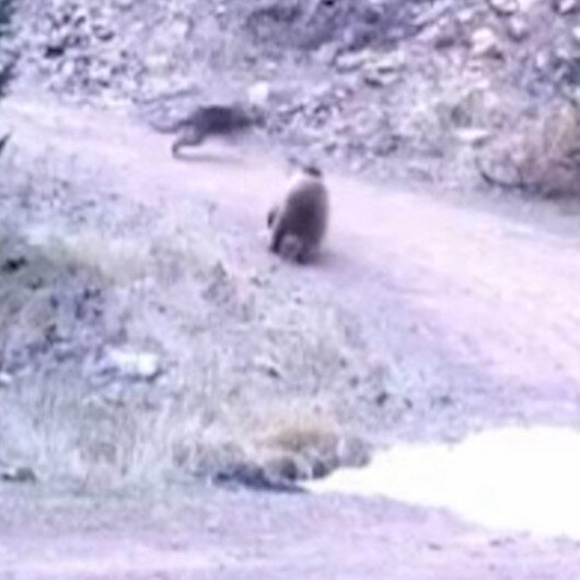 Ankarada kurt ile ayının kovalamacası kamerada