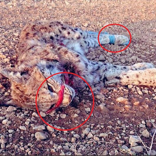 Nesli tükenmekte olan vaşak ağzı ve elleri bağlanmış şekilde ölü bulundu