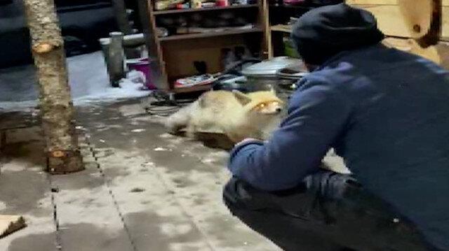 Eve giren tilkiyi elleriyle besledi