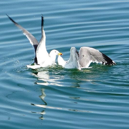 Van Gölünden beslenen martıların balık kavgası